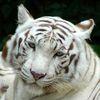 Tiger1600